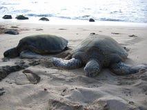 晒黑在海滩的两只海龟 免版税库存照片