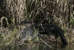 晒黑由湖的一条美国短吻鳄 库存照片
