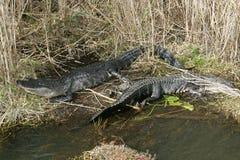 晒黑由湖的一条美国短吻鳄 免版税库存图片