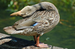 晒黑的鸭子 免版税库存图片