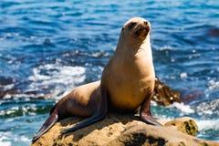 晒黑在岩石的加利福尼亚海狮在拉霍亚,加利福尼亚 库存图片