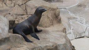 晒黑在岩石的海狮 免版税库存照片