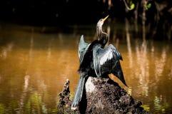 晒黑在岩石的美洲蛇鸟烘干  图库摄影