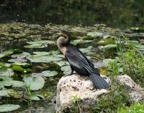 晒黑在岩石的美洲蛇鸟 免版税库存图片