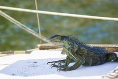 晒黑在风船的绿色鬣鳞蜥 库存图片