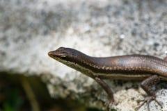 晒黑的蜥蜴在岩石 库存图片