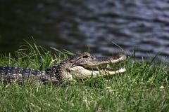 晒黑鳄鱼 库存图片