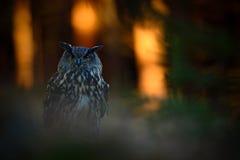 晚上光在森林里,大欧亚欧洲产之大雕坐绿色青苔石头在黑暗的森林,动物在自然栖所, Swed里 免版税库存照片
