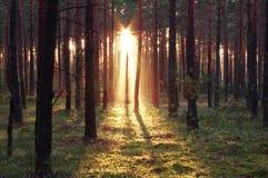 晚上在森林里。 免版税库存图片
