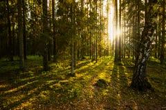 晚上在森林里 免版税图库摄影