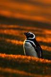 晚上在橙色日落的企鹅场面 与太阳光的美丽的麦哲伦企鹅 与晚上光的企鹅 打开企鹅双 免版税库存照片
