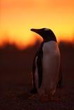 晚上在橙色日落的企鹅场面 与太阳光的美丽的gentoo企鹅 与晚上光的企鹅 打开企鹅票据 库存照片
