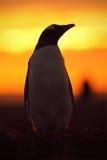 晚上在橙色日落的企鹅场面 与太阳光的美丽的gentoo企鹅 与晚上光的企鹅 打开企鹅票据 免版税图库摄影