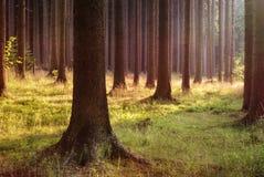 晚上森林 免版税库存照片
