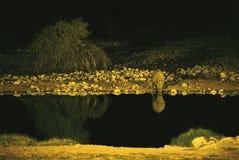 晚上犀牛被射击的浇灌 免版税图库摄影
