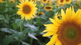 晚上领域用开花的向日葵 影视素材