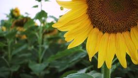 晚上领域用开花的向日葵 股票视频