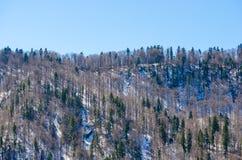 晚冬山风景的冷杉森林 免版税库存图片