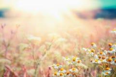 晚夏与雏菊草甸的国家风景和光束,室外美好的夏天 免版税库存照片