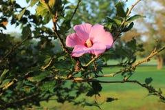 晚夏沙仑的玫瑰花在盛开的花 库存照片