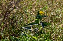 晚夏观点的一朵黄色雏菊在草甸 免版税库存照片