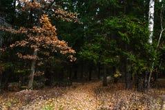 晚秋天在杉木森林里,叶子废弃物 库存图片