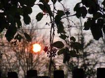 晚秋天,太阳在日落在树枝和常春藤后 免版税库存照片