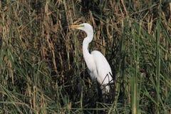 晨曲伟大的白色白鹭的Ardea 免版税库存照片