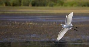 晨曲伟大的白鹭的Ardea在飞行中 库存图片