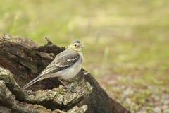 晨曲少年白色令科之鸟的Motacilla 免版税库存图片