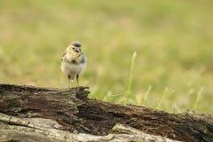 晨曲少年白色令科之鸟的Motacilla 免版税库存照片