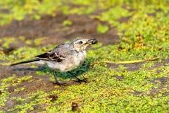 晨曲少年白色的令科之鸟或的Motacilla吃马蝇 免版税库存图片