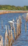 晨曲极大的白鹭的鸟或的Ardea 免版税库存照片