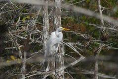 晨曲极大的空白白鹭的Ardea 图库摄影