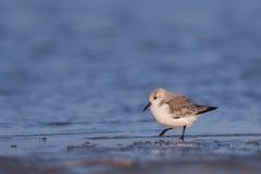 晨曲calidris sanderling的岸走 免版税库存图片