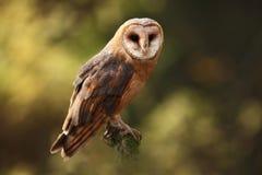 晨曲tyto 秋天蓝色长的本质遮蔽天空 E 在秋天自然的猫头鹰 免版税库存照片
