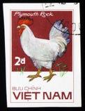普利茅斯暗礁雄鸡,系列鸡品种,大约1985年 库存照片