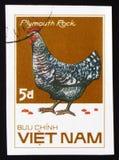 普利茅斯暗礁鸡,系列鸡品种,大约1985年 免版税库存图片