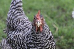 普利茅斯禁止岩石鸡 库存图片