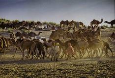 普斯赫卡尔,印度- 11月17 :在每年家畜fai的骆驼 库存照片