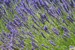 普罗旺斯淡紫色 免版税库存照片