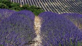普罗旺斯的淡紫色领域 股票视频