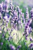 普罗旺斯自然背景 淡紫色领域在与拷贝空间的阳光下 开花的紫罗兰色淡紫色花宏指令  免版税库存图片