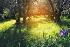 普罗旺斯:春天晴天在橄榄树小树林里 免版税库存照片