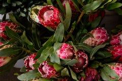 普罗梯亚木,南非的全国花和独特对西开普省 免版税库存照片