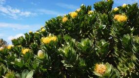 普罗梯亚木,南非的著名植物 库存图片