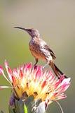 普罗梯亚木sugarbird 库存图片