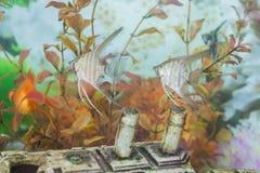 普通的Scalare鱼两个个体在一个个人水族馆的 免版税库存图片
