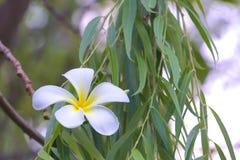 普遍,精美,白色和黄色羽毛花卉生长在一个美丽的被弄脏的` bokeh `泰国庭院里 库存照片