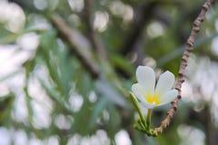 普遍,精美,白色和黄色羽毛花卉生长在一个美丽的被弄脏的` bokeh `泰国庭院里 免版税库存图片